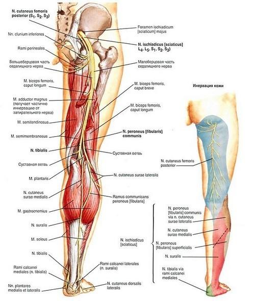 Где у человека находится седалищный нерв