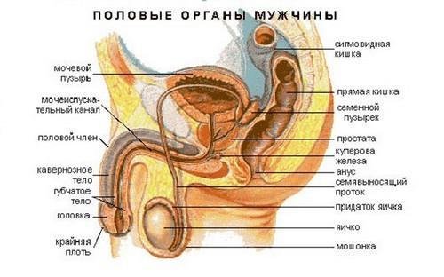 Фото 3. Мужская половая система
