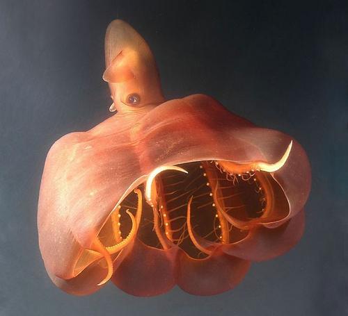 Глубоководный осьминог Stauroteuthis syrtensis