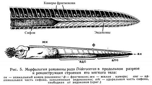 Схемы строения раковин эндоцерид