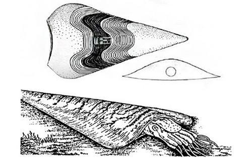 Gonioceras из отряда Actinocerida