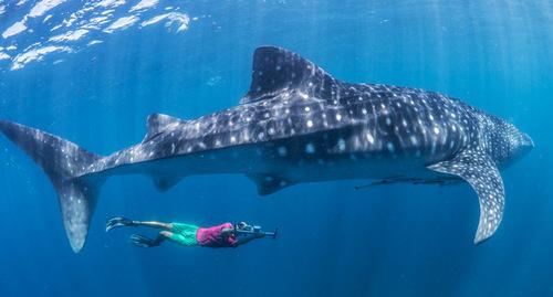 Китовая акула (Rhincodon typus) — гигантский фильтратор