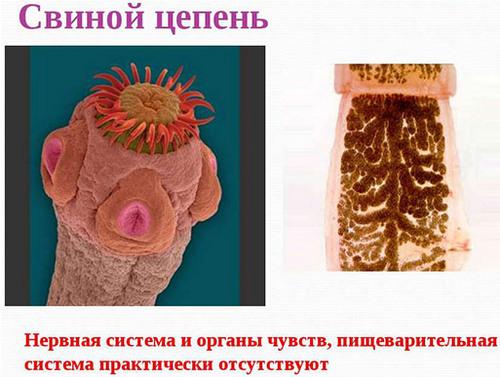 Заражение свиным цепнем человека