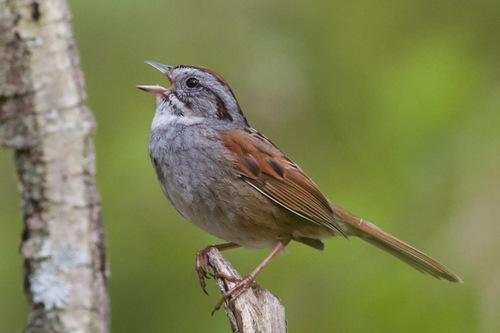 Самец болотной зонотрихии (Melospiza georgiana) исполняет свою незамысловатую песню