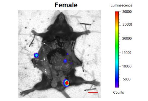 Сенолитики продлили мышам жизнь и улучшили ее качество