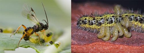 В отношениях растения, гусеницы-вредителя, осы-наездника и ее гиперпаразитоида важную роль играет поли-ДНК-вирус