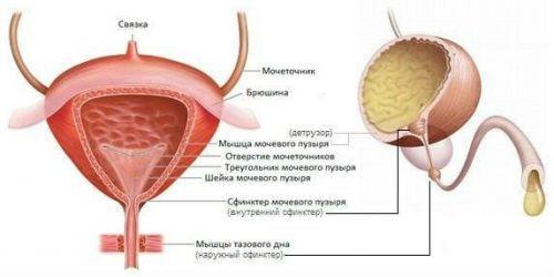 Что такое детрузор мочевого пузыря