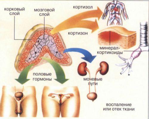 Функции почек в организме человека и их нарушения
