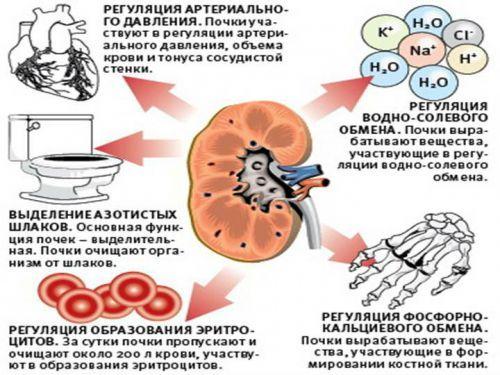 Анатомия и функции почек человека